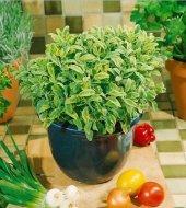 Alacalı Sarı Yeşil Ada Çayı Fidesi (Salvia Officinalis Goldblatt