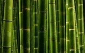 Bambu Tohumu (1 Paket 50 Adet)