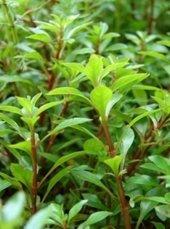 Ludwigia Palustris 1 Bağ Bitki Canlı Bitki