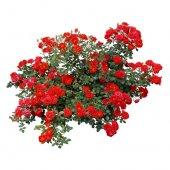 Kokulu Sarmaşık Güller (Kırmızı)