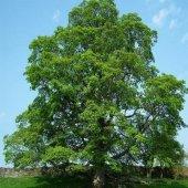 Açık Kök Çınar Ağacı Fidanı (250 300 Cm)
