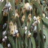 Tüplü Hızlı Büyüyen Okaliptus Ağacı Fidanı (3 4 Metre) 5 6 Yaş