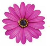 Erato Compact Purple Bodrum Papatyası Çiçeği Fidesi (5 Fide)