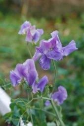 Mavi Bezelye Çiçeği (Sweet Pea)