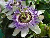 Passiflora (Saat Çiçeği)* 5 Adet Tohum