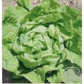 Tohum Marul Salata Tereyağlı Kıvırcık 04 Orjinal Ambalaj 25gr