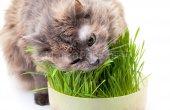 Naturel Yavru Kedi Çimi