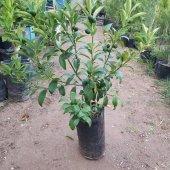 Kamkat Kumquat 50 70 Cm Aşılı 3 Yaş