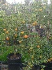 Calamondin Fidanı 6 Yaş (100 Cm Saksılıbol Meyveli)