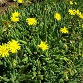 Othonna Capensis Sukulent Yakut Kolyesi Çiçeği Sarkıcı Ve Yayılıcı 12 15cm (Köklüdür Ve İlaçsız Yetişmiştir)