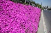 Acem Halısı Çiçeği Tohumu + Çimlendirme Torfu