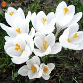 Hollanda' Dan İthal Çiğdem (Crocus) Çiçeği Tohumu (25 Tohum)