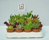 20&#039 Li Sukulent Bahçesi Yalova Posta Pazarı Canlı Succulent